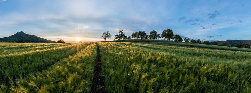 Los campos de cebada
