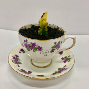 Tea cup planter with Succulent - Dozens to Choose From