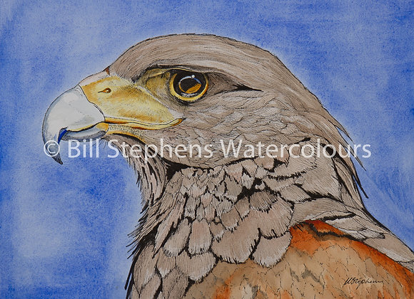 Original Watercolour - Harris Hawk