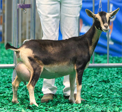 GCH Aries KS Lilly of the Valley
