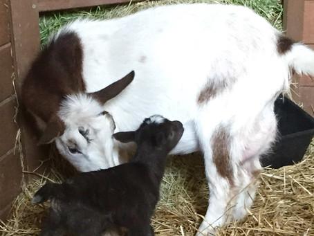Aries Nigerian Dwarf Goats Blog