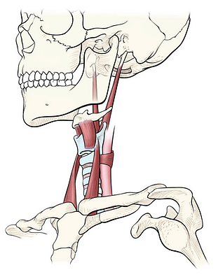 Suspensory Muscles of Larynx.png