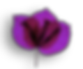 Bougainvillea colors flower .png