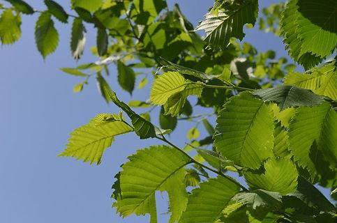 alder-leaves.jpg