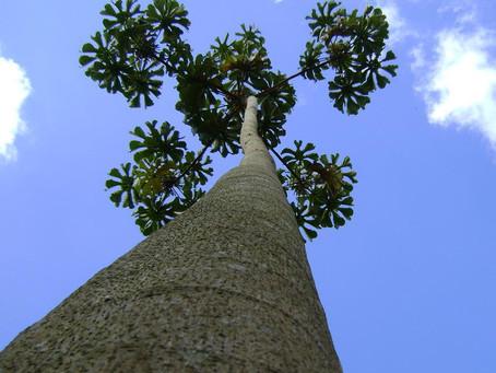 Sob a Árvore, uma Senda Brasiliana