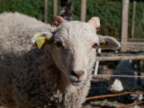 La tonte du mouton