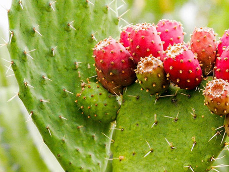 Prickly Pear Cactus Extract