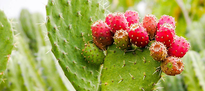 TN Scientific The Hangover Pill Research Article Prickly Pear Cactus plant with pink berries surrounded by other plants