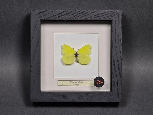 """Schmetterling """"Gonepteryx Farinosa"""""""