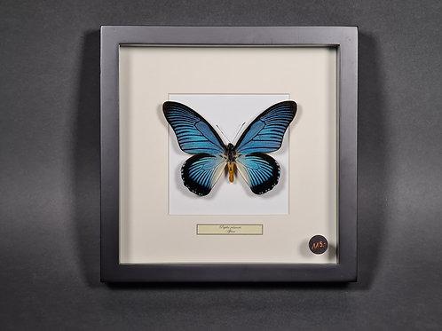 "Schmetterling ""Papilio zalmoxis"""