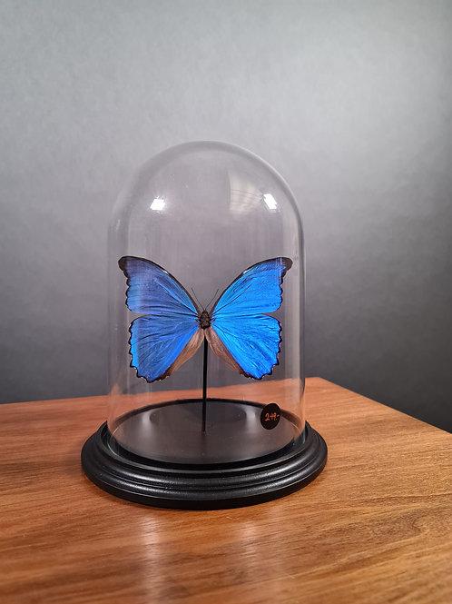"Schmetterling ""Morpho casica"" unter Glasglocke"