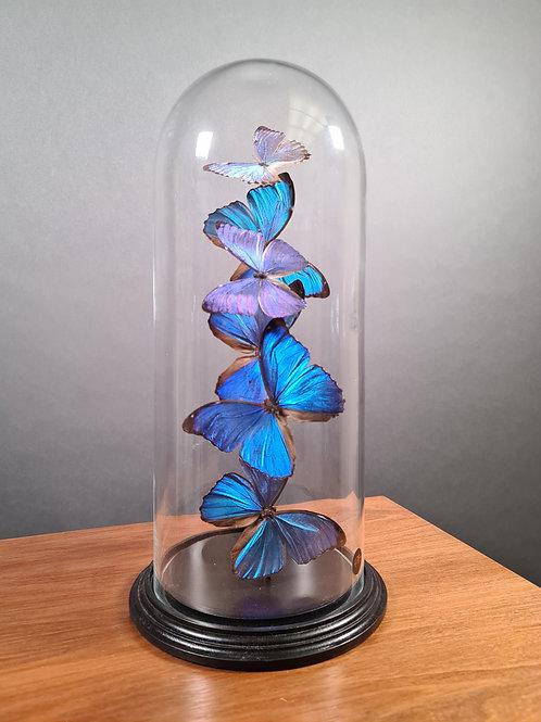 "Schmetterlinge ""Morpho Didius"" unter Glasglocke"