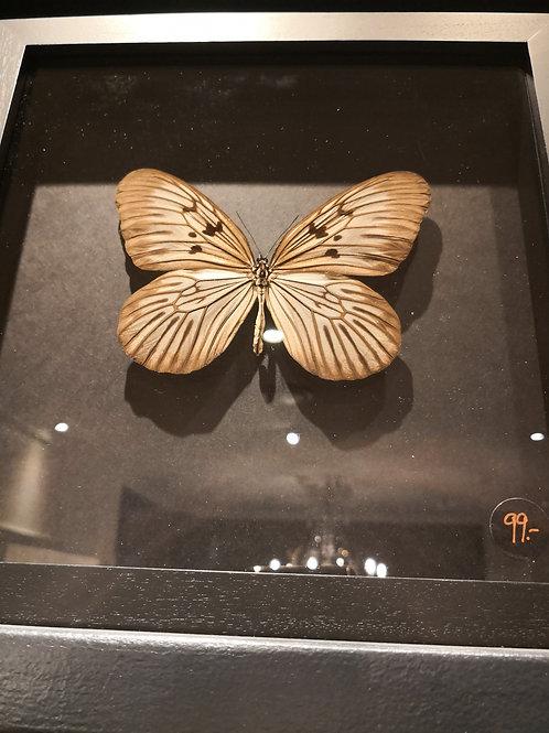 "Schmetterling ""Idea Blanchardi Marosiana"""