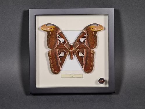 "Schmetterling ""Attacus atlas"""
