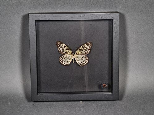 "Schmetterling ""Idea leuconoa obscura"""