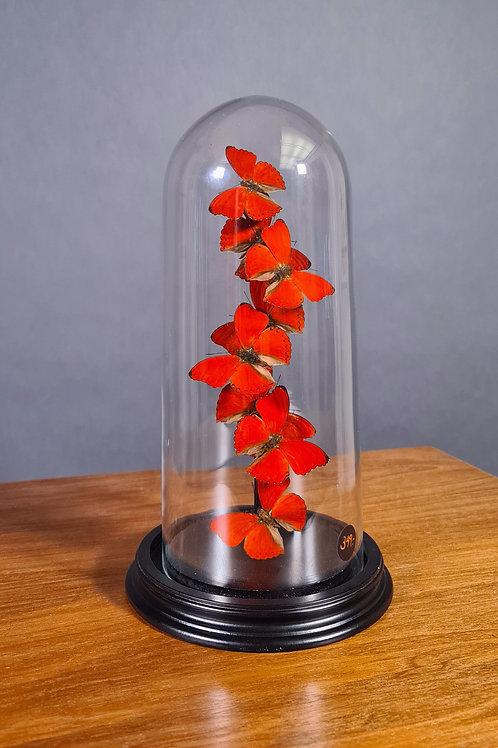 Schmetterlingsglocke