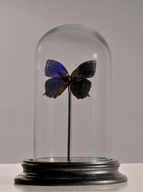 """Blauer Schmetterling """"ptychandra negrosensis"""""""
