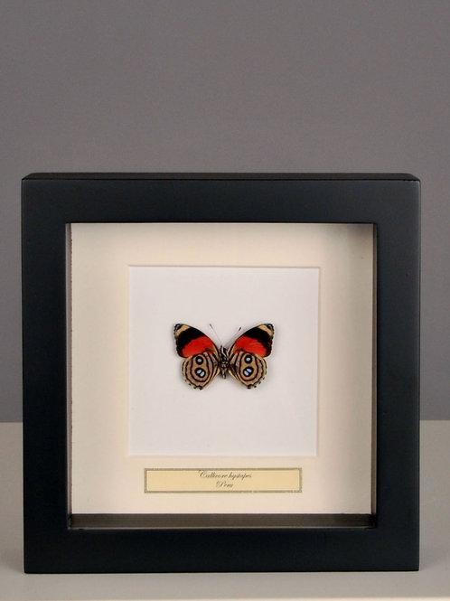 """Schmetterling """"Callicore hystaspes"""""""
