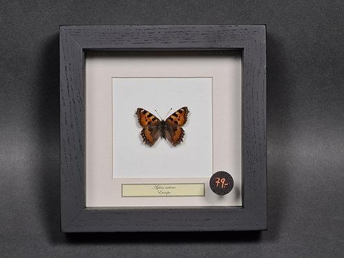 """Schmetterling """"Aglais urticae"""""""