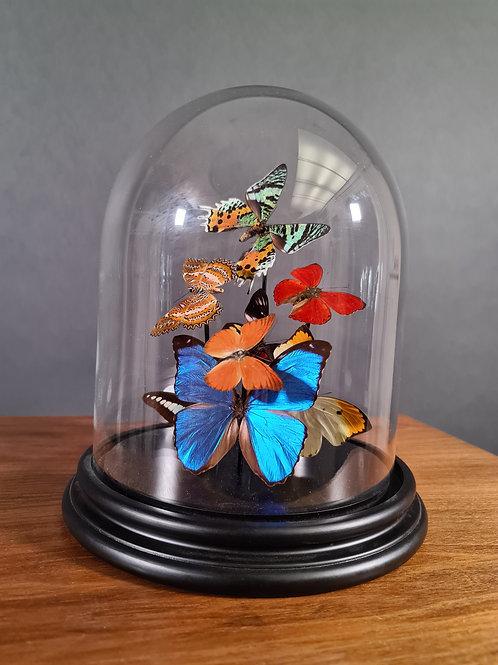 Farbige Schmetterlinge unter Glasglocke