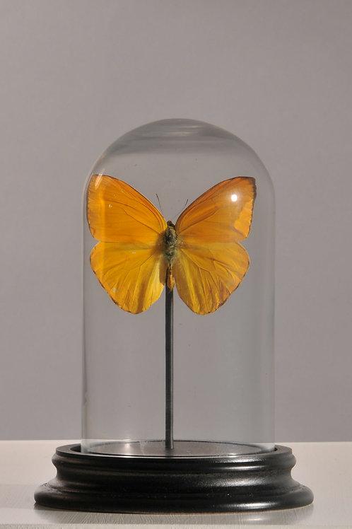 """Gelber Schmetterling """"Phoebis Argante"""""""
