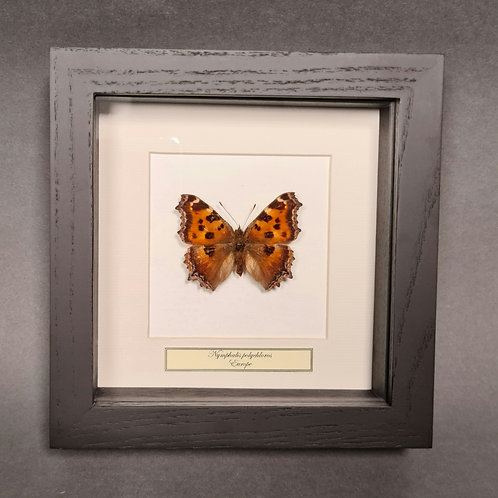 "Schmetterling ""Nymphalis polychloros"""