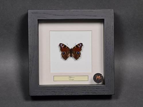 """Schmetterling """"Aglais io"""""""