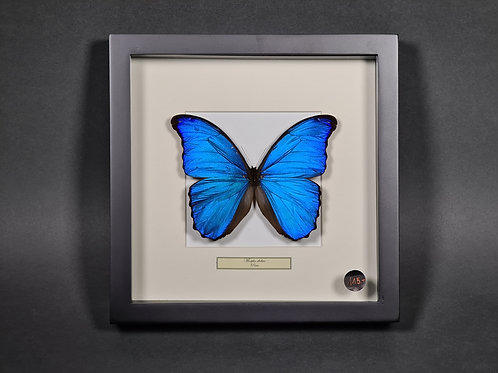 "Schmetterling""Morpho didius"""