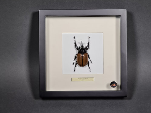 "Nashornkäfer ""Eupatorus gracilicornis"""