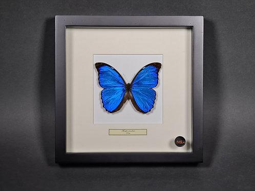 """Schmetterling """"Morpho Menelaus"""""""