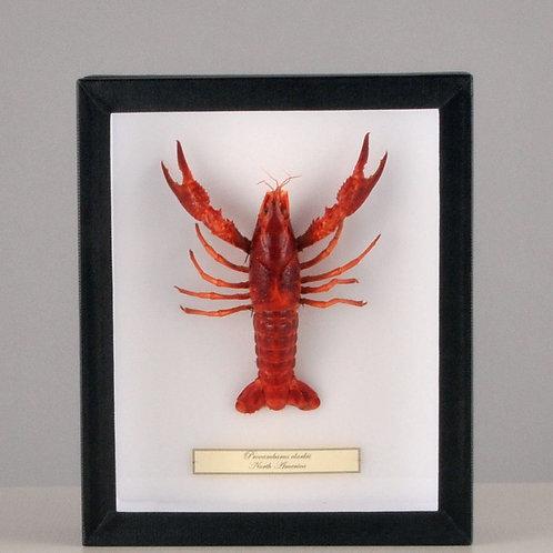 """Flusskrebs """"Procambarus clarkii"""""""