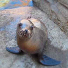 Aquarium Mourns The Passing Of Quill The Sealion