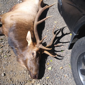 Hunter Killed By Elk