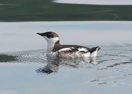 Status Review of Marbled Murrelet As Endangered