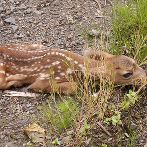Fawn Euthanized After Being Taken From The Wild
