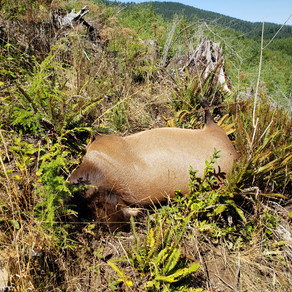 Wasted Elk Found Near Waldport