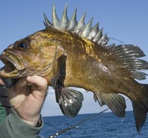 Fish and Wildlife Commission Adopts Marine Bag Limit