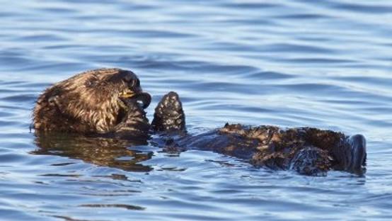 Presentation On Sea Otters