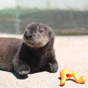 New Sea Otter At Oregon Coast Aquarium