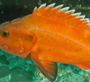 Bag Limit Reduction Announced For Bottomfish