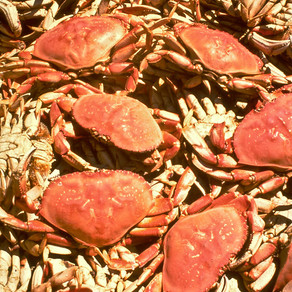 Study Shows Dungeness Crab Delays Affect The Fishery