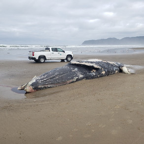 Washed Up Gray Whale Buried