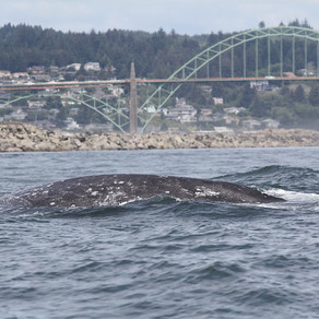 Spring Whale Watching Events Cancelled This Year