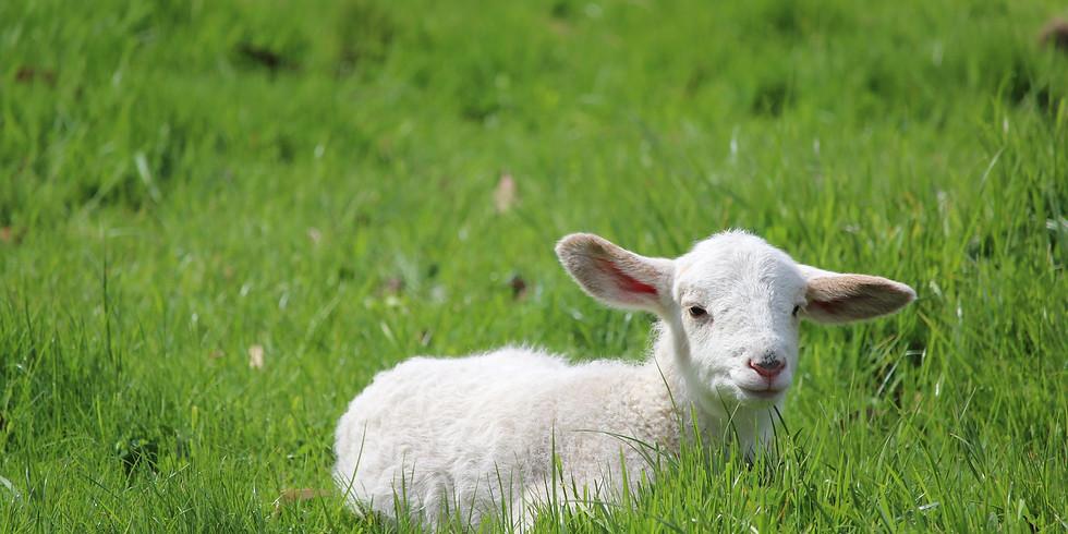 Lamb Feeding (Monday)