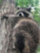raccoon1.jpg