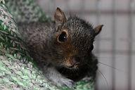 Bay Squirrel