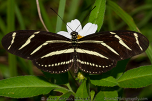 Zebra Heliconian buterfly