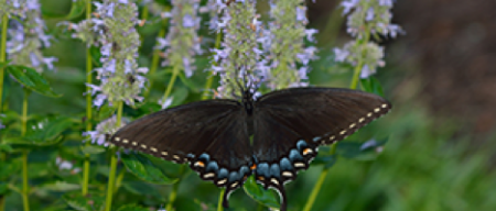 Eastern Tiger Swallowtails butterfly