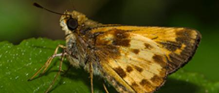 Zabulon Skippers butterfly