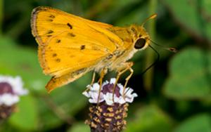 Fiery Skippers butterfly